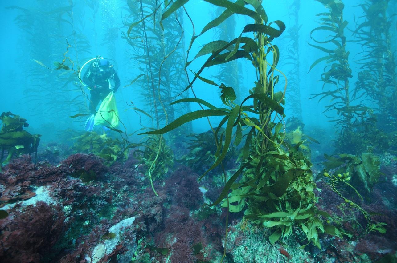 Kelp diver