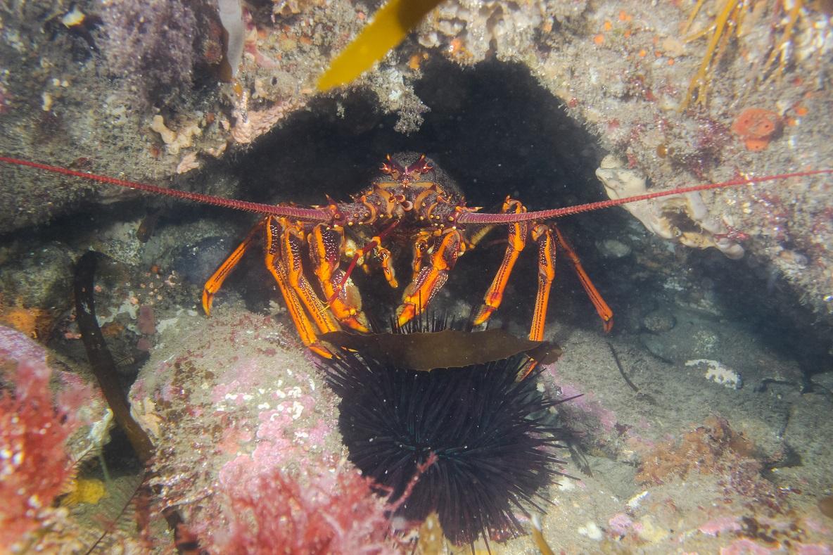 Lobster & urchin
