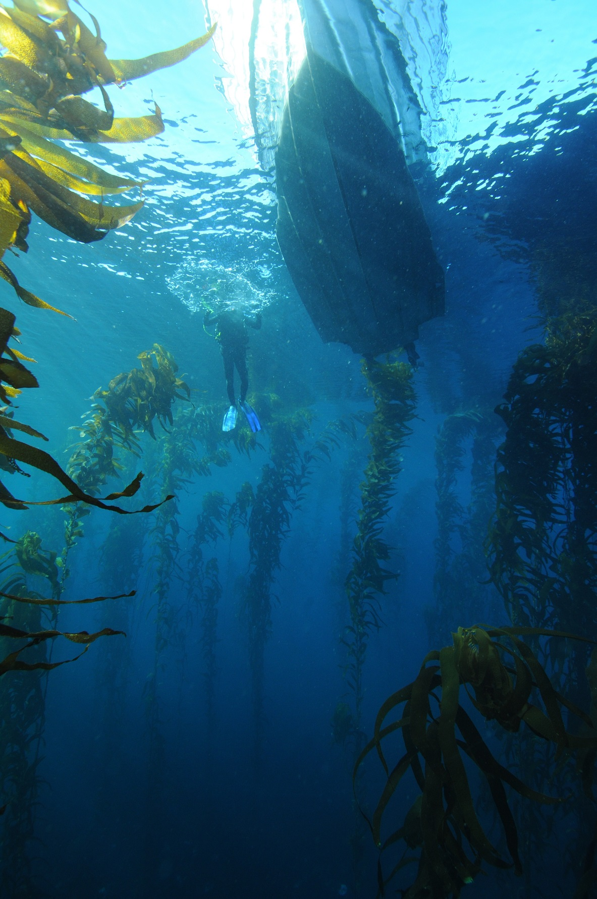 Kelp forest with boat