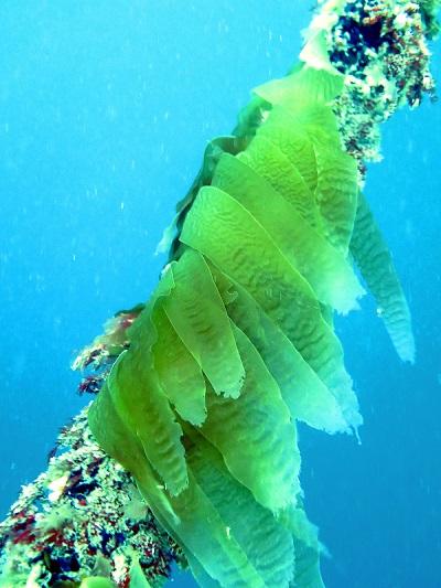 Storm Bay kelp